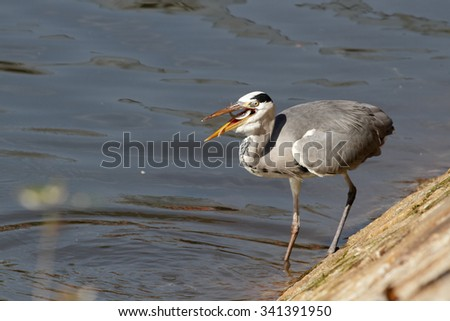 Heron on the bank of the Douro river eating a freshly caught young fish, abundant in autumn and at other times of the year