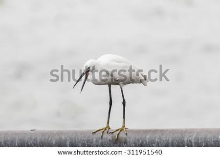 Heron Open the Beak - stock photo