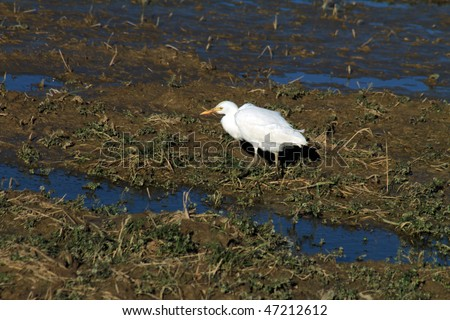 Heron, Rice fields in Sueca, La Albufera  nature reserve, Valencia province,Heron Spain - stock photo
