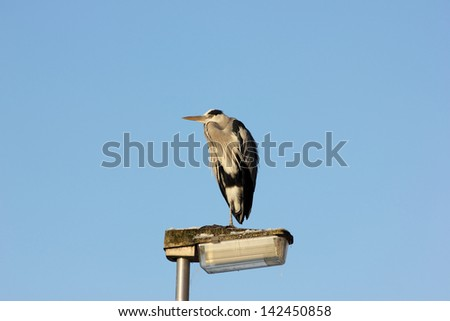 Heron standing on a lamppost in the evening sun - stock photo