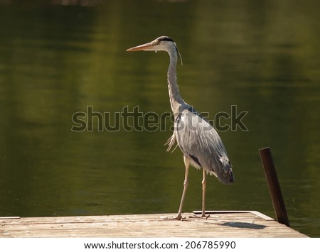 Heron standing on a small jetty.