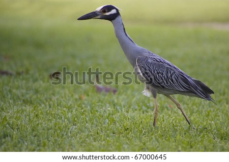 Heron strolls on the grass in Bahamas