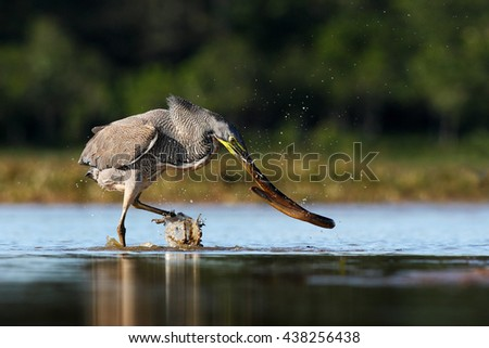 Heron with big fish. Bare-throated Tiger-Heron, Tigrisoma mexicanum, with kill fish. Action wildlife scene from Costa Rica nature. Animal feeding behaviour from tropic march forest. Fish in the bill.  - stock photo