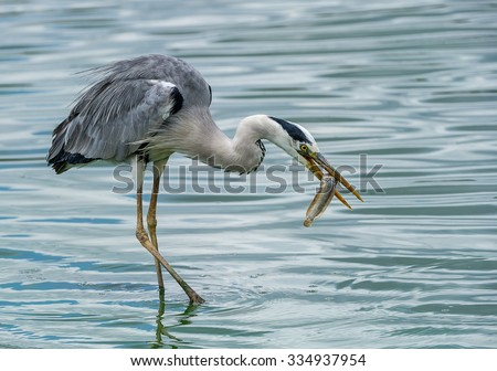 heron with fish - stock photo
