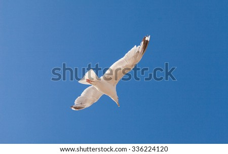 Herring Gull and blue sky background