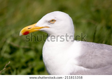 herring gull bird den elder netherlands texel island