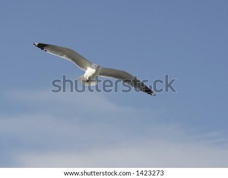 Herring Gull gliding overhead - stock photo