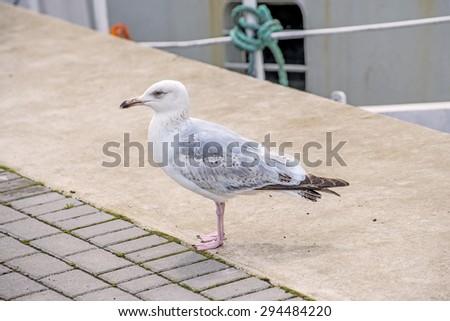 Herring gull, Larus fuscus L. young bird - stock photo