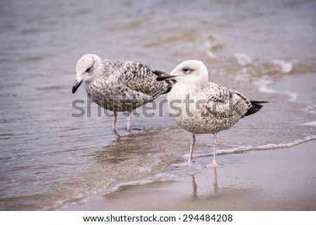Herring gull, Larus fuscus L. young birds - stock photo