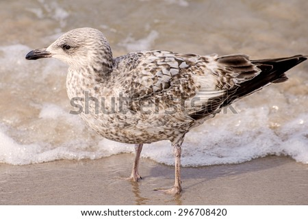 Herring gull on a beach of the Baltic Sea - stock photo