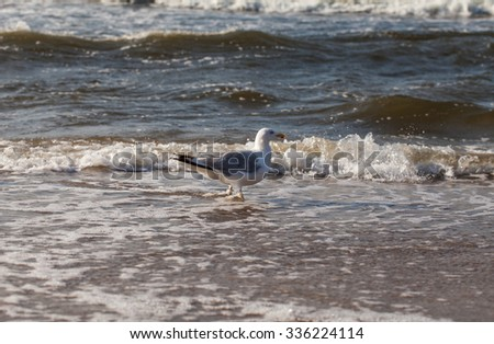 Herring Gull  on the Baltic sandy beach
