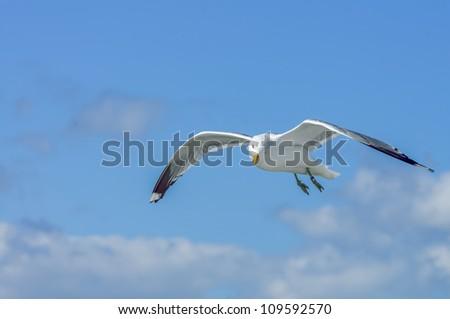 Herring gull, or lesser black-backed gull, soaring against a blue summer sky, over Helsinki, Finland - stock photo