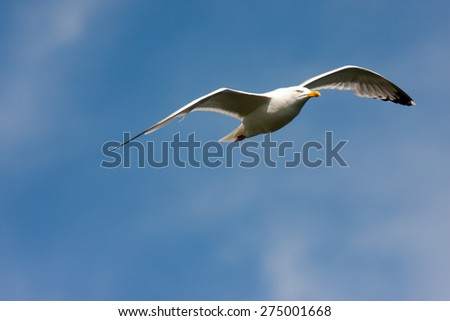 Herring gull soaring in a blue sky - stock photo