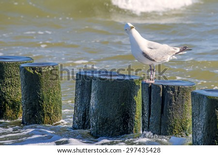 Herring gulls on a groin in the Baltic Sea - stock photo
