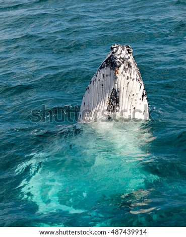 Hervey Bay is famous for its Whale Cruises. This is a Humpback Whale