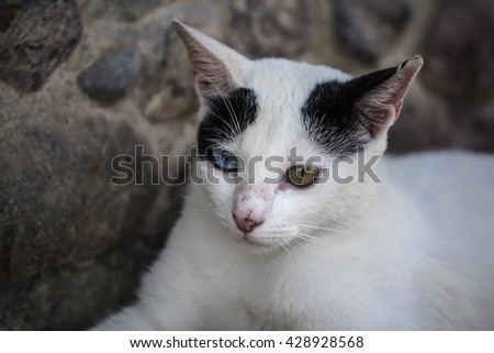 Heterochromia white cat. Cat with different colored eyes close on a background of stone - stock photo