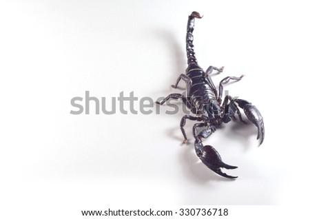 Heterometrus spinifer - stock photo