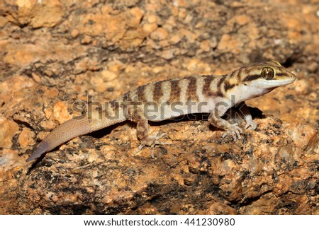 Heteronotia binoei, commonly known as Bynoe's gecko, is a species of lizard endemic to Australia. One of Australia's least habitat-specific geckos, it occurs naturally across much of the country. - stock photo