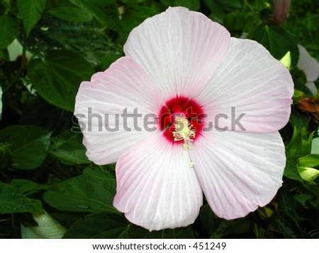 Hibiscus - stock photo
