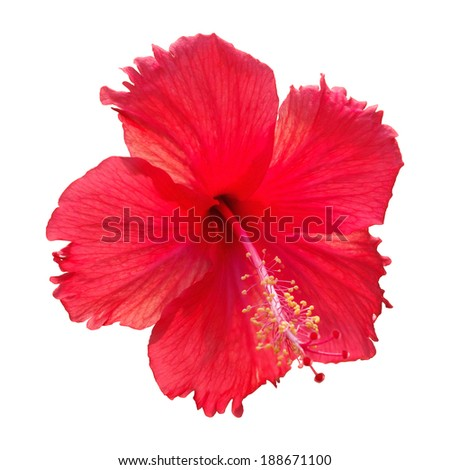 Hibiscus flower (Clipping path ) - stock photo