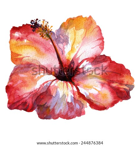 hibiscus flower isolate. watercolor flower red. flower isolated on white background.  tropical flower watercolor painting