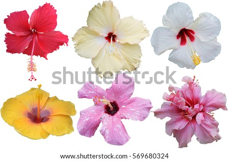 hibiscus stock images, royaltyfree images  vectors  shutterstock, Natural flower