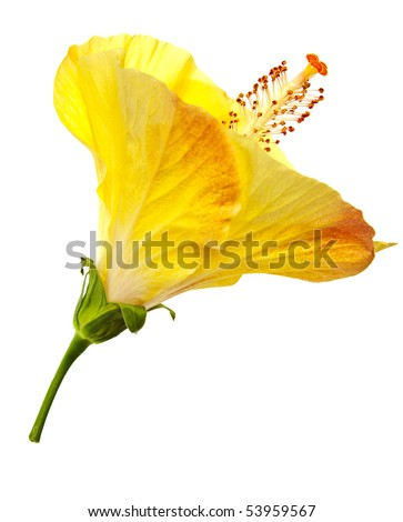 hibiscus flower isolated on a pure white background