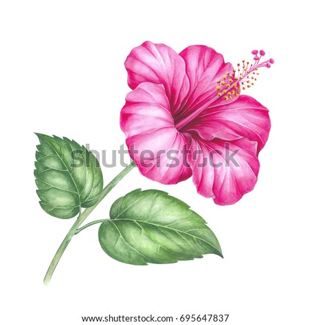 Tree mallow stock images royalty free images vectors shutterstock hibiscus flower isolated on a white background watercolor botanical illustration ccuart Image collections