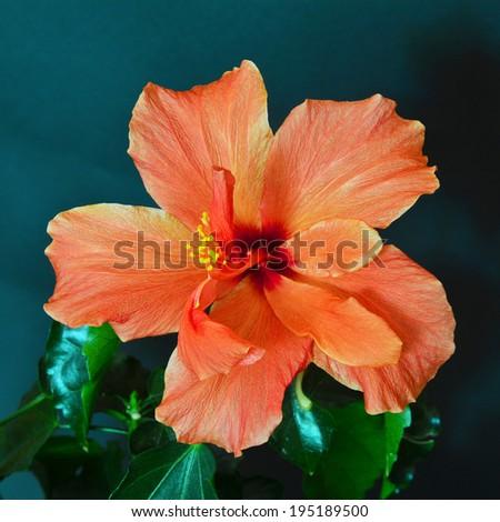 hibiscus flower over dark background - stock photo