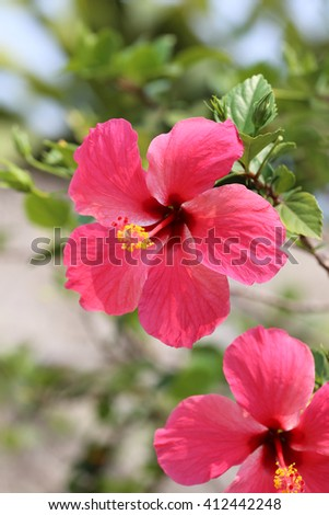 hibiscus flowers blossom in the garden,Tropical tree is beautiful of Thailand. - stock photo