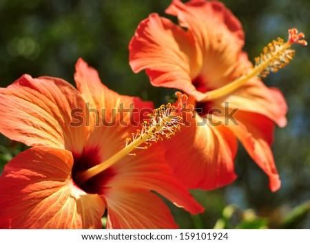 red hibiscus flower stock images, royaltyfree images  vectors, Natural flower