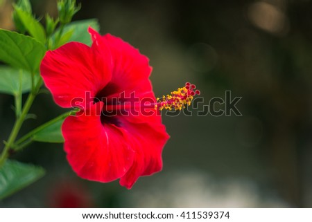 Hibiscus flowers in the tropical garden - stock photo