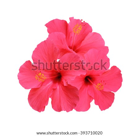 Hibiscus flowers isolated on white background  - stock photo