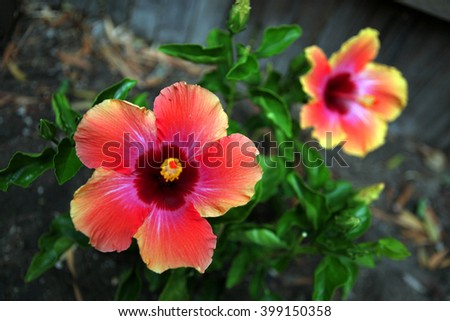 Hibiscus flowers pictured in San Fernando Valley in Los Angeles, California.  - stock photo