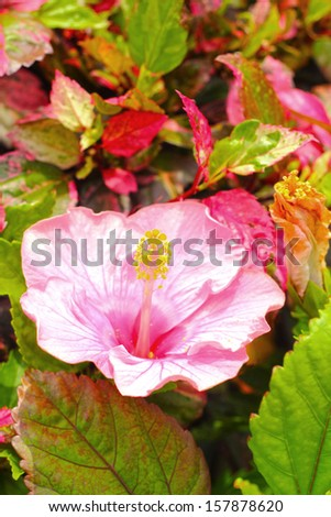 Hibiscus flowers - pink flower in the nature