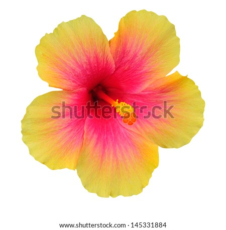 Hibiscus on white background - stock photo