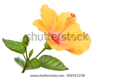 Hibiscus on white background with clipping path - stock photo