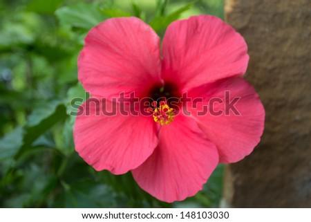 Hibiscus pink flower - stock photo