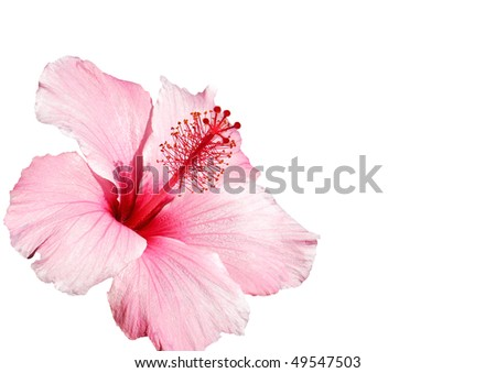 hibiscus pink flower isolated on white - stock photo