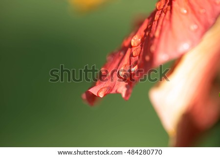 Hibiscus plant with water droplets on petal close up