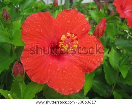Hibiscus Red - stock photo