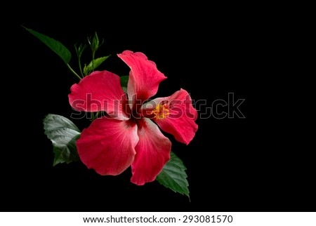 Hibiscus red flower on black background  - stock photo