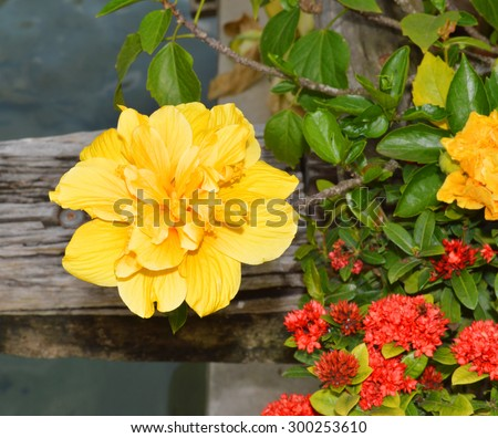 Hibiscus Rosa sinensis, many common names as Chinese hibiscus, China rose, Hawaiian hibiscus, and shoe flower - stock photo