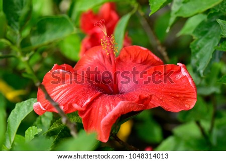 Tree mallow stock images royalty free images vectors shutterstock hibiscus rosa sinensis or is a genus of flowering plants in the mallow family ccuart Image collections