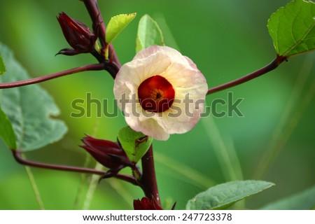 Hibiscus sabdariffa or roselle fruits flower - stock photo
