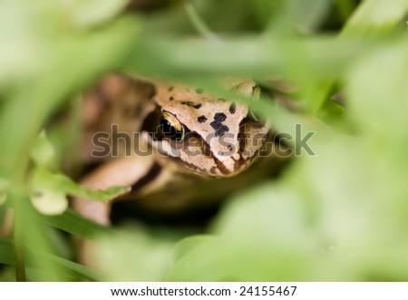 hidden frog - stock photo