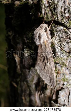 hidden in bark, pine hawkmoth - stock photo