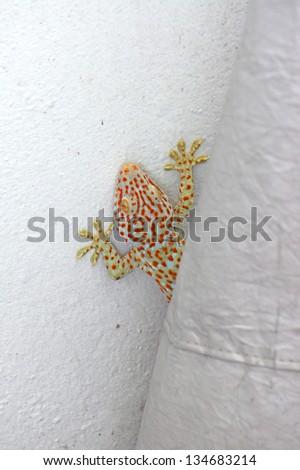 Hidden of gecko - stock photo
