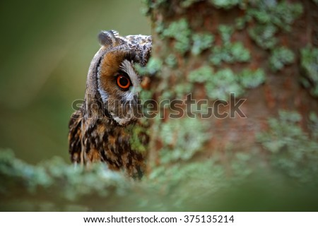 Hidden portrait Long-eared Owl with big orange eyes behind larch tree trunk, wild animal in the nature habitat, Sweden - stock photo