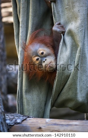 Hide and seek of an orangutan baby in canvas - stock photo